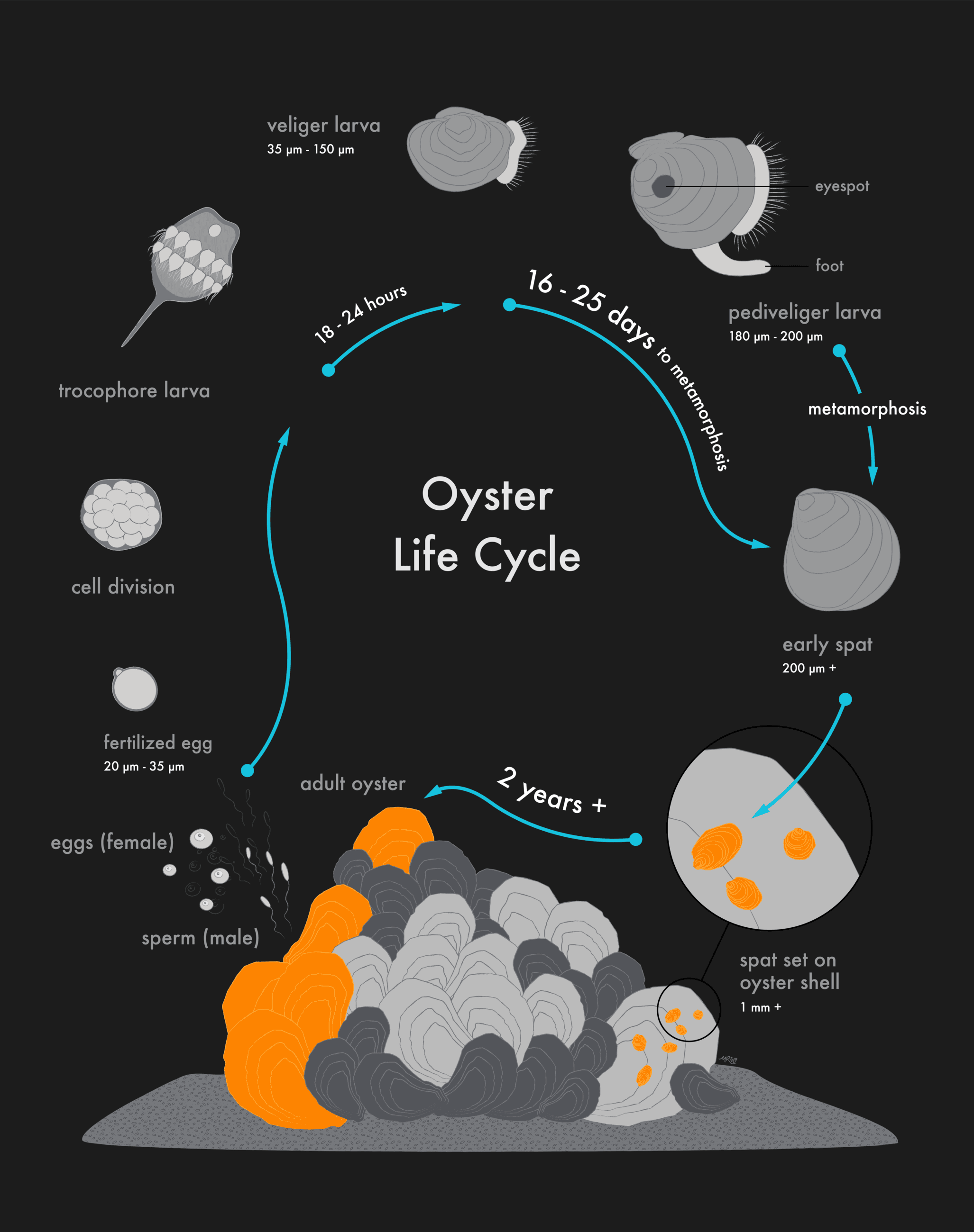 oyster life cycle- Morgan Raith